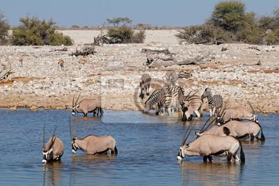Gemsbok (Oryx gazella) and zebras (Equus burchelli) at a waterhole, Etosha National Park, Namibia.