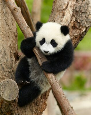 Canvas print Giant panda baby over the tree