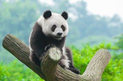 Canvas print Giant panda bear climbing in tree
