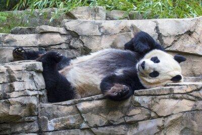 Canvas print Giant panda bear napping at the National Zoo in Washington, DC.