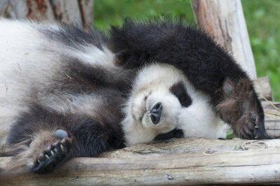 Canvas print Giant panda bear sleeping