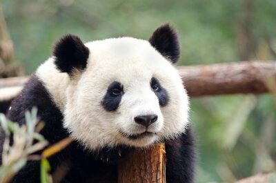 Canvas print Giant Panda - Sad, Tired, Bored looking Pose. Chengdu, China