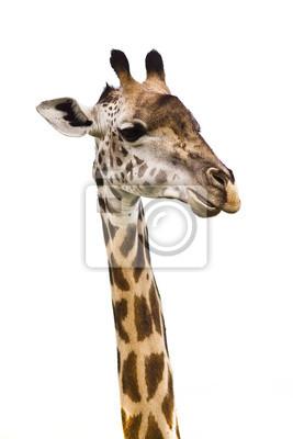 Canvas print Giraffe head Isolated