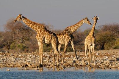 Giraffes (Giraffa camelopardalis) at a waterhole, Etosha National Park, Namibia.