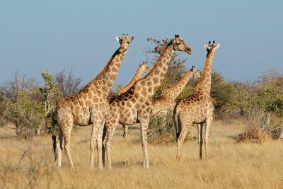 Giraffes (Giraffa camelopardalis) in natural habitat, Etosha National Park, Namibia.