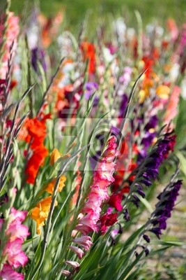 Gladiolus flowers in bright colors