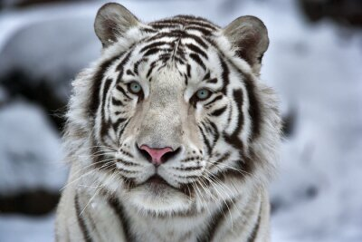 Canvas print Glamour portrait of a young white bengal tiger