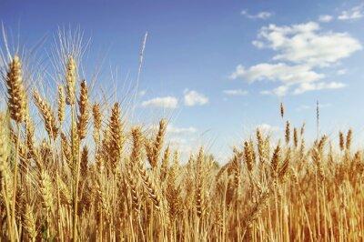 Canvas print Golden wheat field