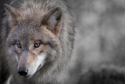 Canvas print Grauer Wolf Portrait 4