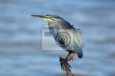 Canvas print Green-backed heron (Butorides striatus) perched on a branch, Kruger National Park, South Africa.