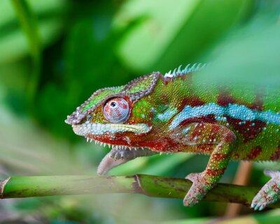 Canvas print Green chameleon