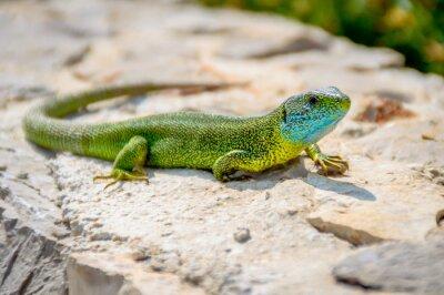 Canvas print Green emerald gecko lizard sunbathing on a rock