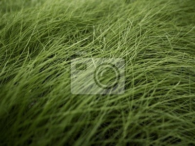Green grass blowing in the wind