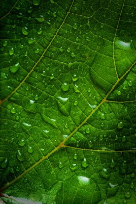 Canvas print green leaf