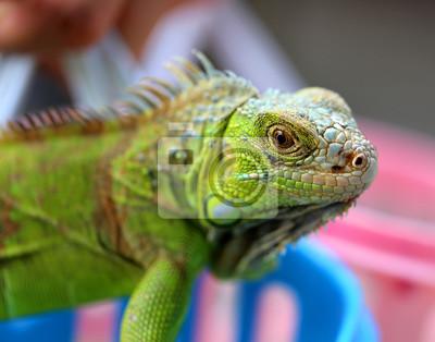 Canvas print green lizard iguana
