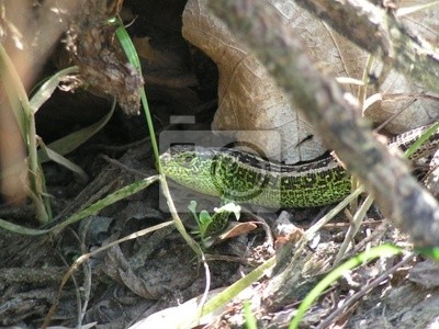 green lizard in bush