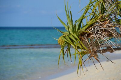 Green spiky pandanus palm tree blowing in the wind with the azure blue water of the Great Barrier Reef in the background