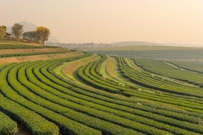Canvas print Green tea farm pattern in the morning