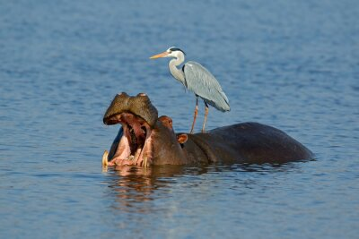 Grey heron (Ardea cinerea) standing on a hippo with gaping mouth, Kruger National Park, South Africa.