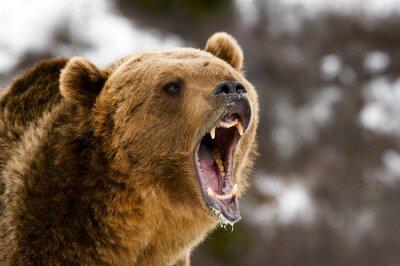 Canvas print Grizzly Bear
