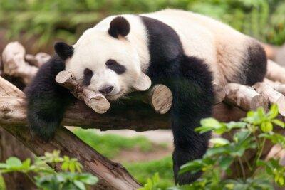 Canvas print Großer Panda