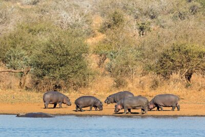 Group of hippos (Hippopotamus amphibius) outside the water, Kruger National Park, South Africa.