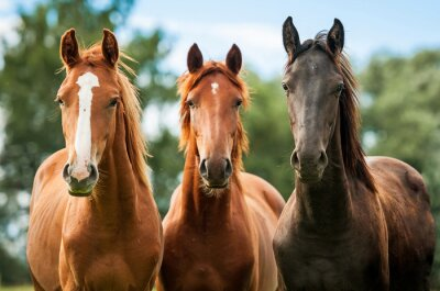 Canvas print Group of three young horses on the pasture