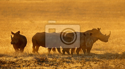 Group of white rhinoceros (Ceratotherium simum) in dust at sunset, South Africa.