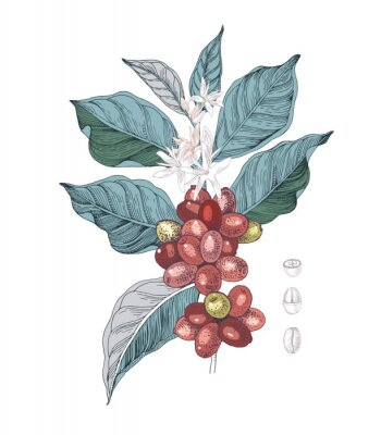 Canvas print Hand drawn illustration of Coffee branch with seeds, fruits and flowers. Sketched coffee plant