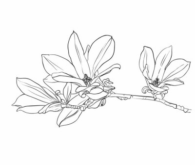 Canvas print Hand drawn magnolia flowers.