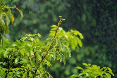 Heavy rain falling and wind blowing in fresh green tree leaves, beautiful natural rainy season scene background.