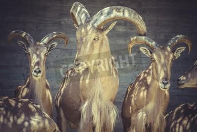 Canvas print Herbivore, beautiful group of Spanish ibex, typical Animal