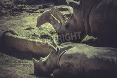Canvas print herbivore, White rhino (Ceratotherium simum)