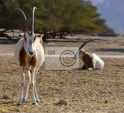 Canvas print Herbivorous antelope, the Arabian oryx in nature reserve