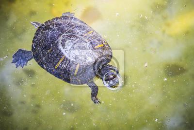 Canvas print herbivorous, tortoise resting in the sun