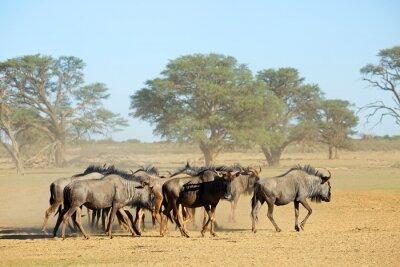 Herd of blue wildebeest (Connochaetes taurinus) in a dusty dry riverbed, Kalahari desert, South Africa.
