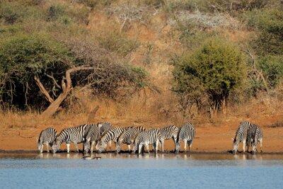 Herd of plains zebras (Equus burchelli) drinking water, Kruger National Park, South Africa.