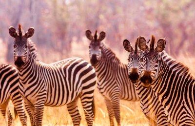 Herd of wild Zebra