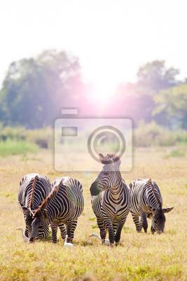 Herd of zebra at sunrise