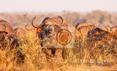 Herd or African Cape Buffalo