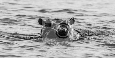 Hippo in the water in black and white