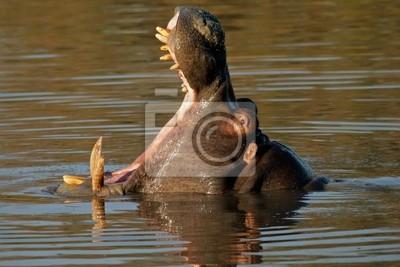 Canvas print hippopotamus yawning