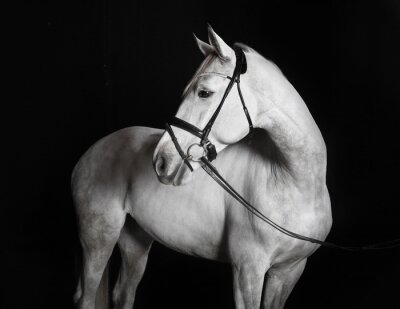 Canvas print Holsteiner Pferd weiß vor schwarzem Hintergrund