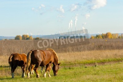 horses grazing in the autumn field. Grazing horses. Beautiful autumn rural landscape with golden forest in background, clear sky and dark horse grazing in front of it