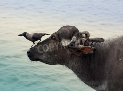 House Crows Corvus splendens on buffalo head, India