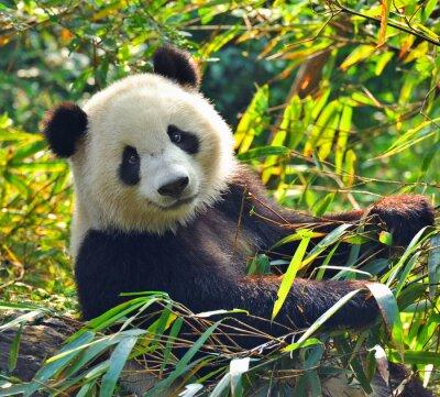 Canvas print Hungry giant panda bear eating bamboo