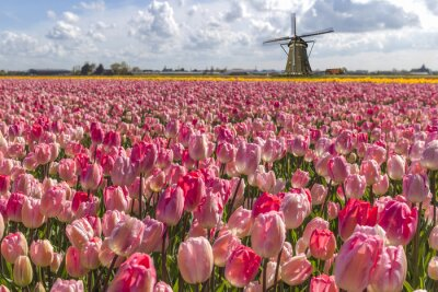 Canvas print Iconic Dutch tulips bulb farm in spring time at Amsterdam
