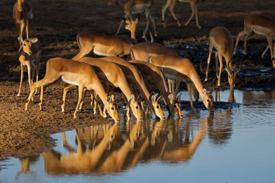 Canvas print Impala antelopes (Aepyceros melampus) drinking water in late afternoon light, Kruger National Park, South Africa.