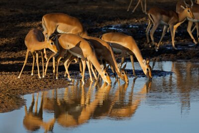 Impala antelopes (Aepyceros melampus) drinking water in late afternoon light, Kruger National Park, South Africa.