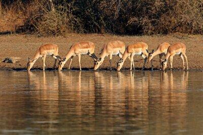 Canvas print Impala antelopes (Aepyceros melampus) drinking water, Kruger National Park, South Africa.
